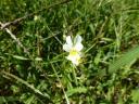 die gelb leuchtenden Blüten des Acker-Stiefmütterchens (die tatsächlich auch auf einem Acker standen)