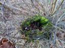 """Welcher Vogel mag hier wohl im Strauch sein Nest gebaut haben? Im Inneren eine """"feste… Schüssel und außen herum viel Moos, Reisig und Grashalme verwoben…¦.. …"""""""