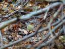 Wintergoldhähnchen (Regulus regulus) :: Es war kaum möglich, ein unverwackeltes Foto von dem quirligen kleinen Kerlchen zu machen, der ständig in Bewegung war.