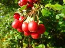 Erntezeit - überall leuchten uns reife Früchte entgegen. Hier: Weißdorn