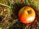 Falläpfel sammeln - was für ein Spaß!