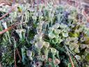 Trompetenflechte :: Cladonia fimbriata