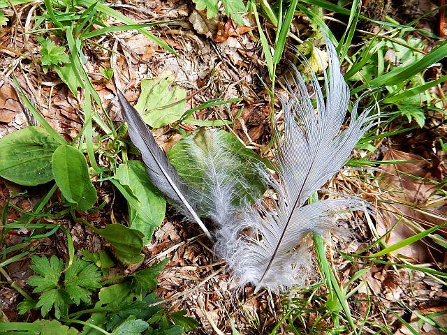 Graue Federn unterschiedlicher Art ligen am Boden