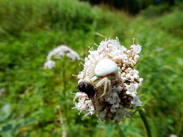 Auf der hellrosa Blütendolde des Baldrians sitzt eine helle Krabbenspinne und hält mit ihren vorderenn Beinen eine Fliege
