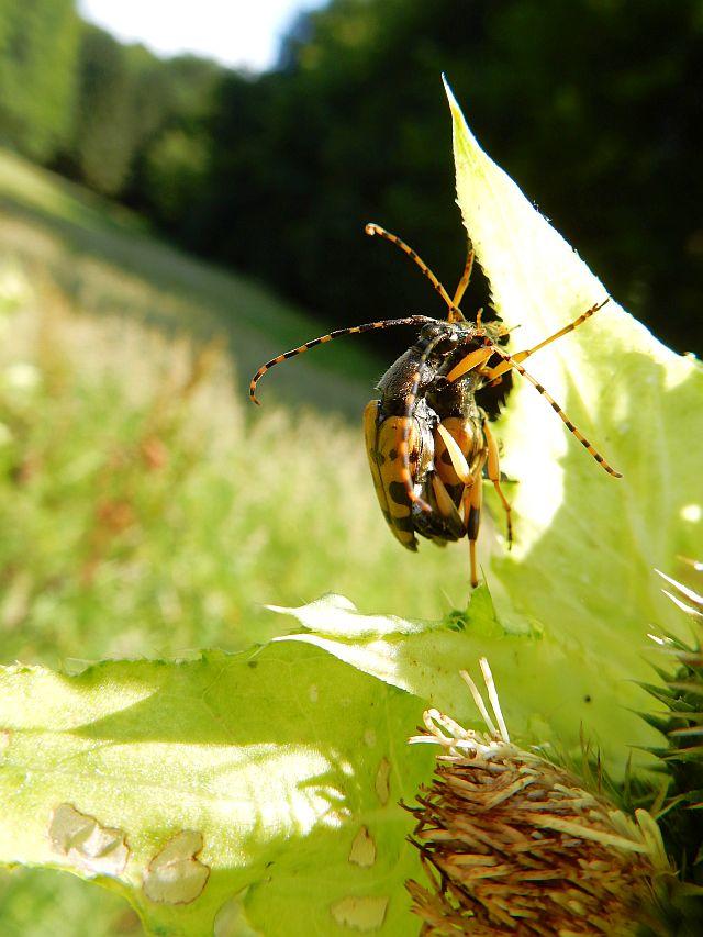 Zwei gelbbraune Käfer an einem Blatt