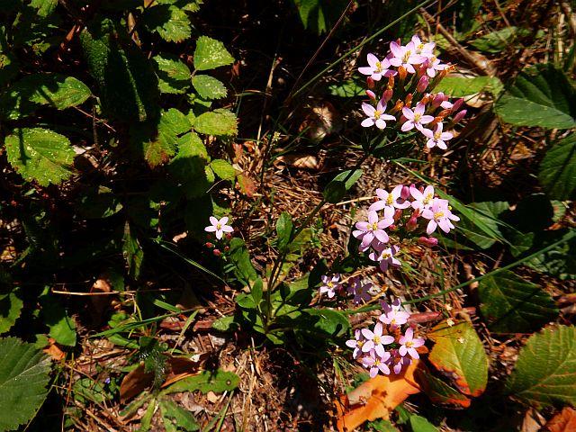 Kleine Rosa Blüten leuchten zwischen grünem Blattwerk