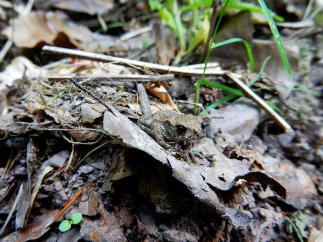 Eine grünbraune Kröte sitzt auf bräunlichem alten Laub