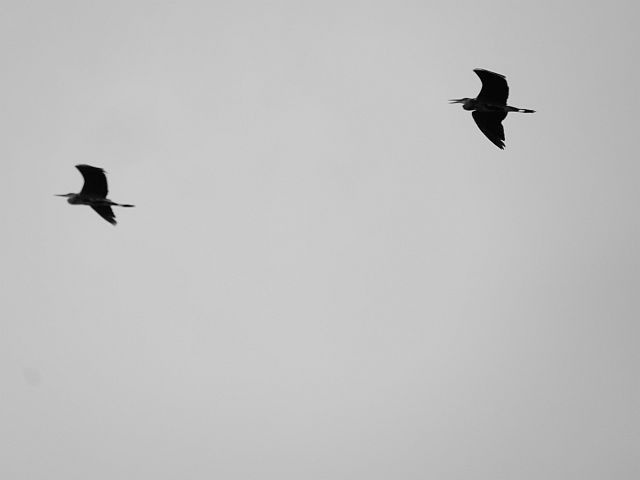 Silhouetten von zwei Graureihern im Flug