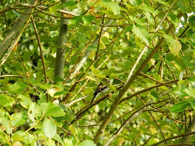Ein kleiner Vogel (dunkler Rücken, heller Bauch) ist im Gezweig eines Strauches kaum zu shen
