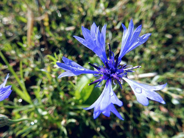 Nahaufnahme einer leuchtend Blauen Kornblumenblüte