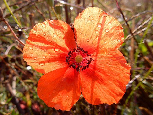 Nahaufnahme einer geöffneten Blüte des roten Klatschmons mit Wassertropfen auf den Blütenblättern