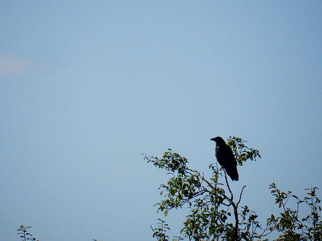 Eine Krähe sitzt auf den obersten Zweigen eins Baumes