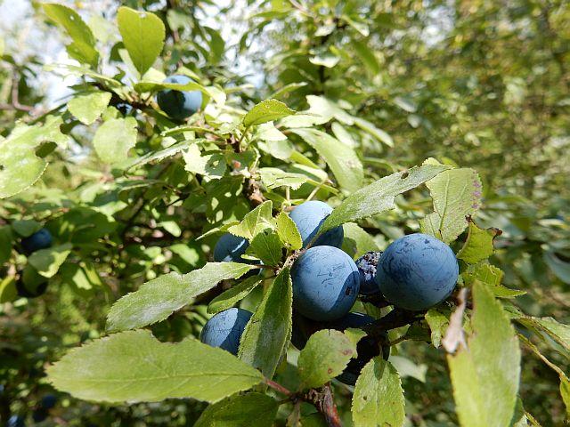 Blaue, runde Beeren an einem Strauch