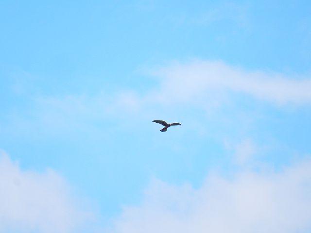 Ein Raubvogel mit ausgebreitetn Flügeln im Flug