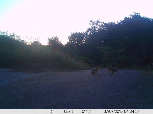 Zwei Feldhasen sitzen in der Morgendämmerung auf einem Weg